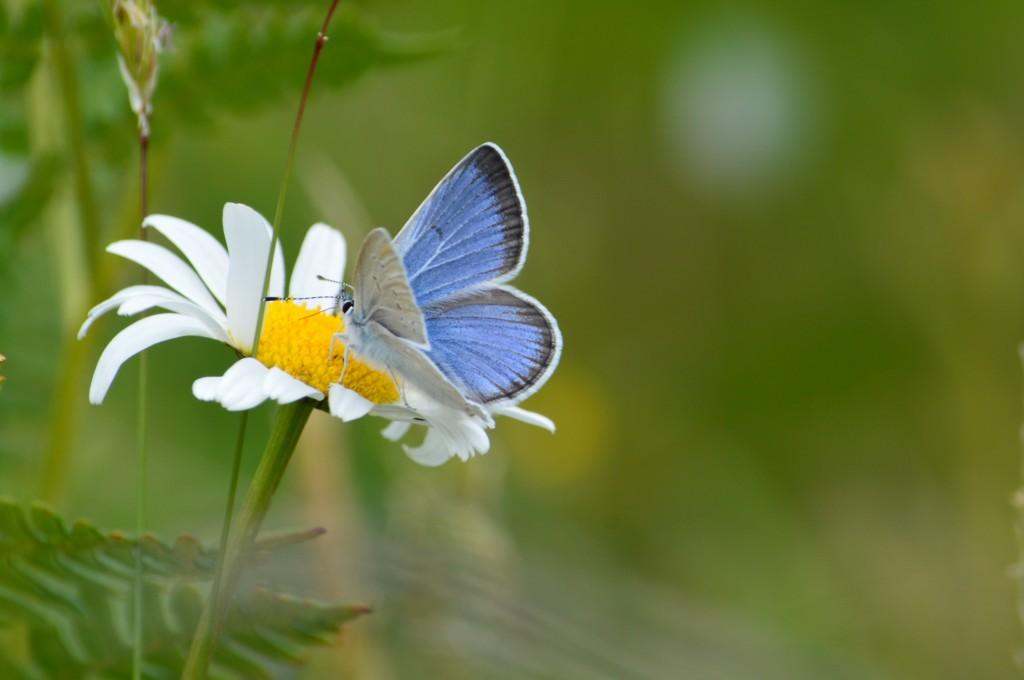 Blue butterfly on daisy