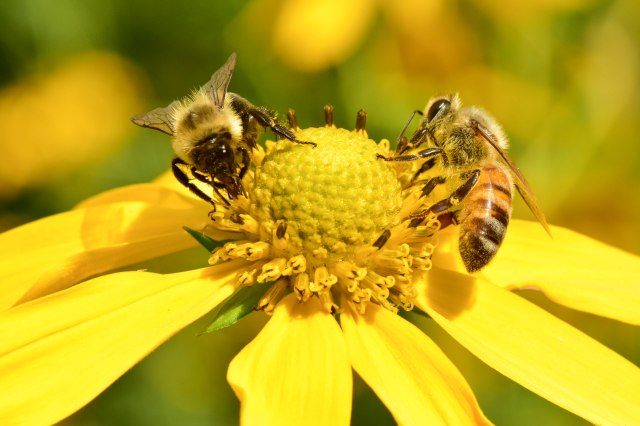 Bees on yellow flower