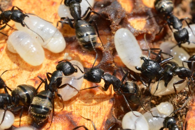 Carpenter ants make a home of an abandoned bee hive.