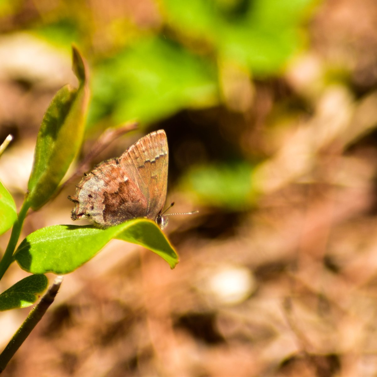 Frosted elfin butterfly on leaf